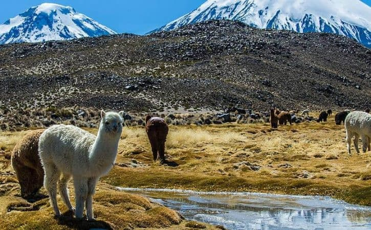 Overland Trip in Chile Altiplano, alpacas and volcanos