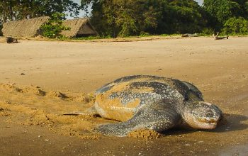 Watching Sea Turtles in South America – Where, When & How