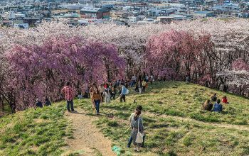 Hanami in Japan  – The Celebration of Cherry Blossoms