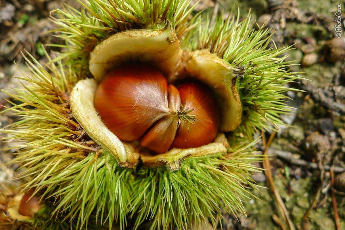fresh chestnuts to be cooked in the pressure cooker