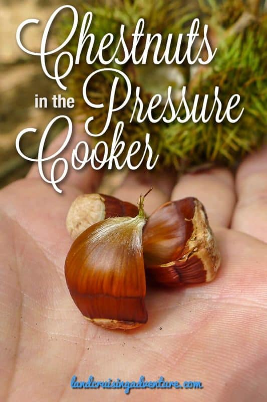 Fresh chestnuts, ready to be cooked in the pressure cooker