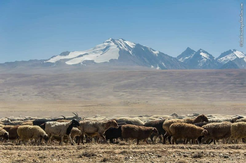 Sheep and and snow-covered Pamir Mountains in Tajikistan