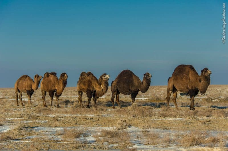 Camels on the steppe in Kazakhstan