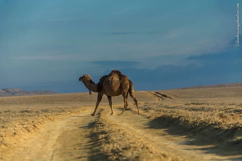 Road trip in Kazakhstan and meeting a camel.